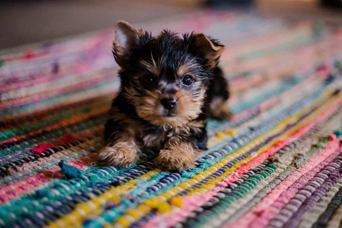 tiny puppy laying on a colorful rug