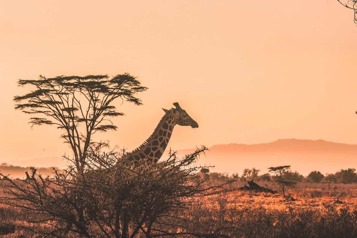giraffe at dusk in the savana